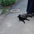 あくびをする黒猫