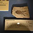 オタマジャクシの化石