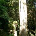 三本に分かれる巨木