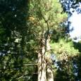 天狗党の乱をこの木は見たのか