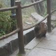 峨眉山の猿です