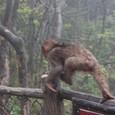 登山客の荷物を狙う猿