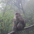 日本の猿とは何処か違う