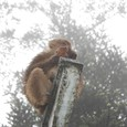 芋を食う猿