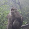 峨眉山の野生の猿