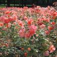 バラの香りの園