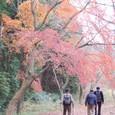 紅葉の下を歩く