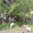 白馬蔵族が放牧するヤギ