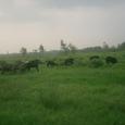 ひたすら草をはむヤギ