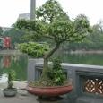 見事な盆栽