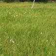 白い綿毛のような草が