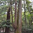 皇大神宮(内宮)の巨木群