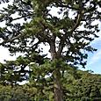記念写真の宇治橋の木