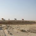 遺跡西のラクダと馬