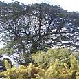 大木が多いスリランカ