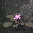 蓮の花はこんなに美しい