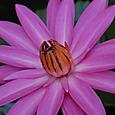 スリランカの蓮の花