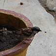 スリランカの雀です 日本と変わらない