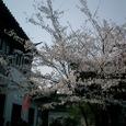 寒山寺 桜満開