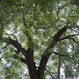 えんじゅの大木