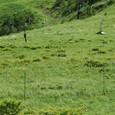 ニッコウキスゲを守る高圧線 鹿の被害