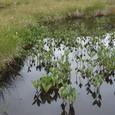 沼の植物と花