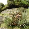竜舌蘭(メスカル、テキーラの原料)