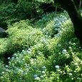 明月院 紫陽花