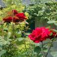 薔薇と明月院