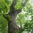 新緑に包まれる巨木の森