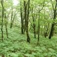 新緑のブナの森