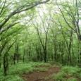 新緑のブナの森と落ち葉の歩道