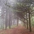 霧の木立の道