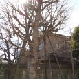 鴎外の庭 巨木