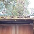 苔むす檜皮葺(ひわだぶき)