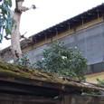 苔むす檜皮葺屋根と白い椿の花