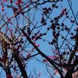 根津界隈の紅梅
