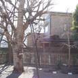 庭には巨大な銀杏の木