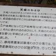天城のわさび 江戸の寿司に支えられる