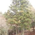 立派に育った、お手植えの杉