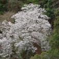 樹齢200年 『姫桜』