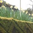 苔生す石垣には水仙が