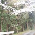 山桜と苔生す石垣の道
