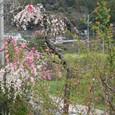 桃の花の道です