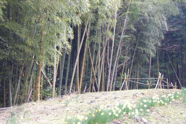竹藪と水仙