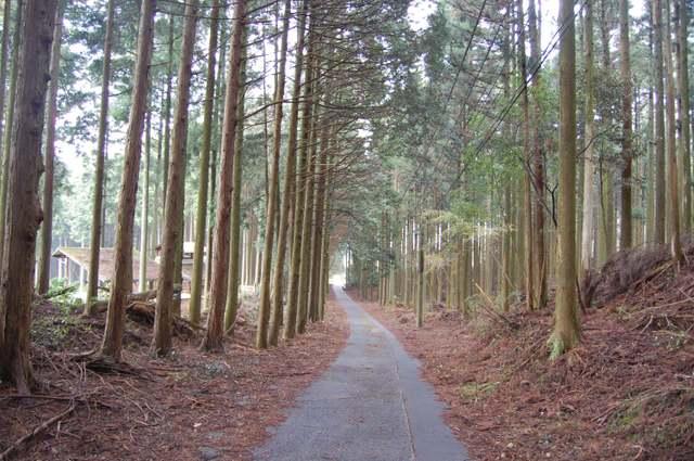杉木立の森