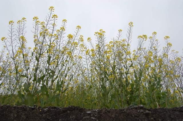 石垣の上には菜の花が