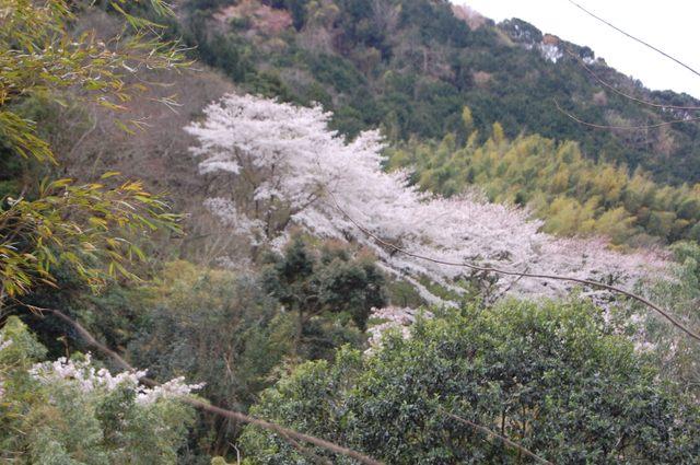 湯ガ野も桜が満開
