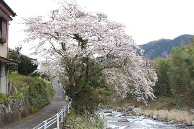 湯ガ野温泉の桜