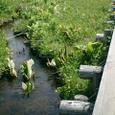 池塘と水芭蕉